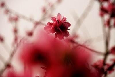 简单桃花的折法步骤图解